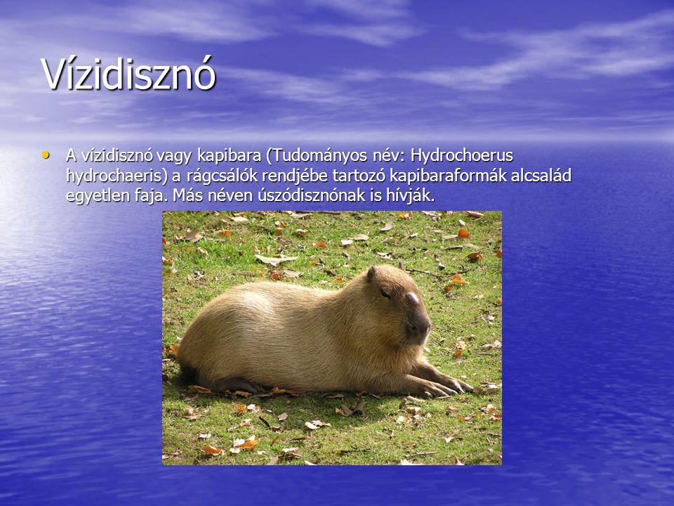 Vízidisznó A vízidisznó vagy kapibara (Tudományos név: Hydrochoerus hydrochaeris) a rágcsálók rendjébe tartozó kapibaraformák alcsalád egyetlen faja.