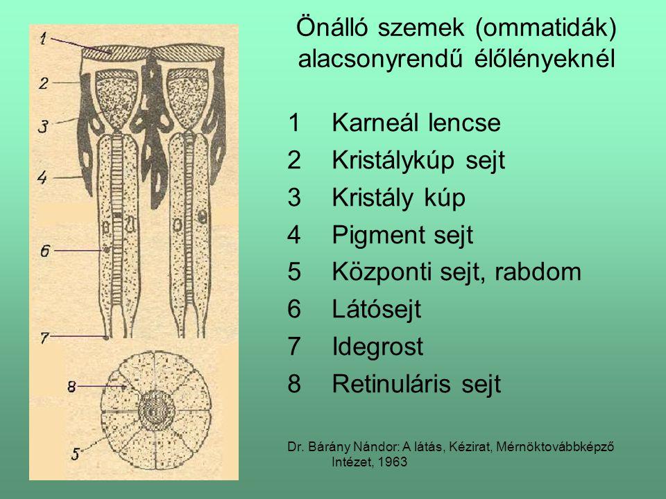 Önálló szemek (ommatidák) alacsonyrendű élőlényeknél 1Karneál lencse 2Kristálykúp sejt 3Kristály kúp 4Pigment sejt 5Központi sejt, rabdom 6Látósejt 7Idegrost 8Retinuláris sejt Dr.