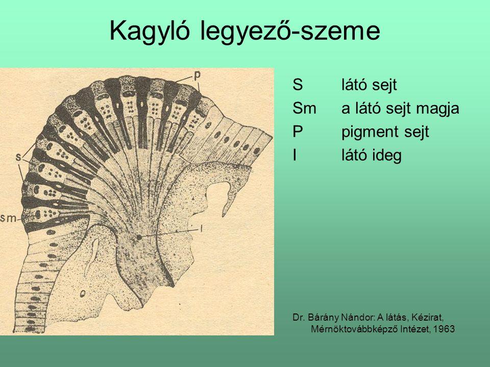 Kagyló legyező-szeme Slátó sejt Sma látó sejt magja Ppigment sejt Ilátó ideg Dr. Bárány Nándor: A látás, Kézirat, Mérnöktovábbképző Intézet, 1963