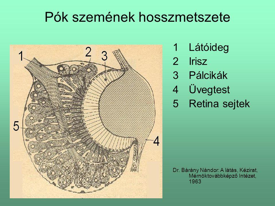 Pók szemének hosszmetszete 1Látóideg 2Irisz 3Pálcikák 4Üvegtest 5Retina sejtek Dr. Bárány Nándor: A látás, Kézirat, Mérnöktovábbképző Intézet, 1963