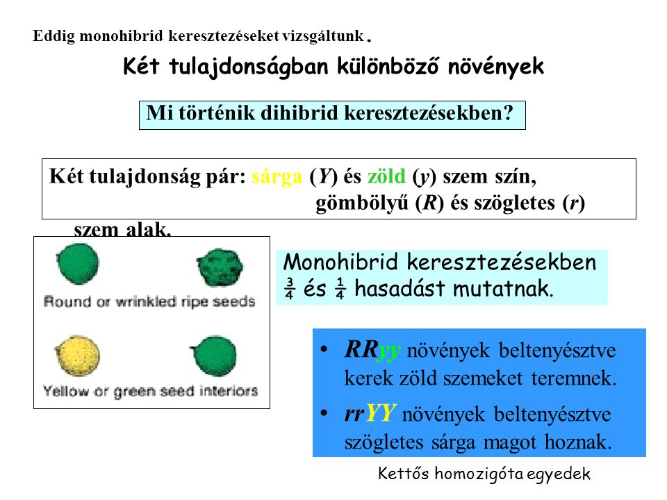 Két tulajdonságban különböző növények Eddig monohibrid keresztezéseket vizsgáltunk.