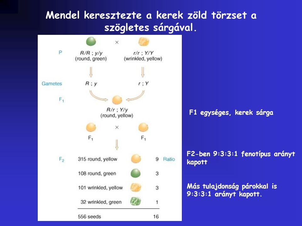 Mendel keresztezte a kerek zöld törzset a szögletes sárgával. F1 egységes, kerek sárga F2-ben 9:3:3:1 fenotípus arányt kapott Más tulajdonság párokkal