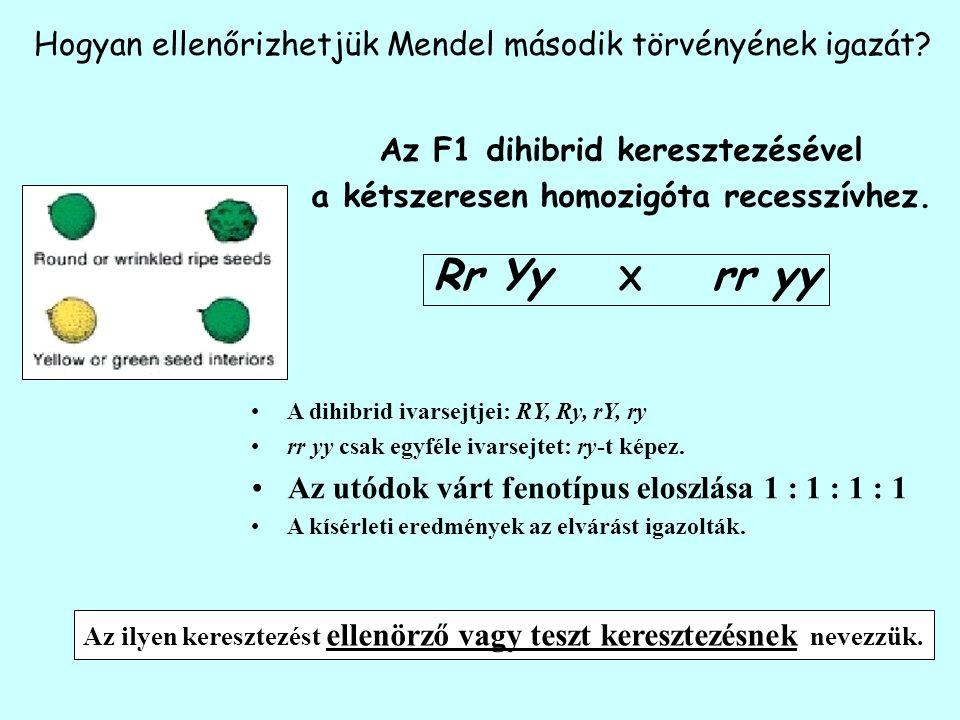 Hogyan ellenőrizhetjük Mendel második törvényének igazát? Az F1 dihibrid keresztezésével a kétszeresen homozigóta recesszívhez. Rr Yy X rr yy A dihibr