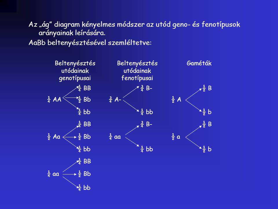 """Az """"ág"""" diagram kényelmes módszer az utód geno- és fenotípusok arányainak leírására. AaBb beltenyésztésével szemléltetve: Beltenyésztés utódainak geno"""
