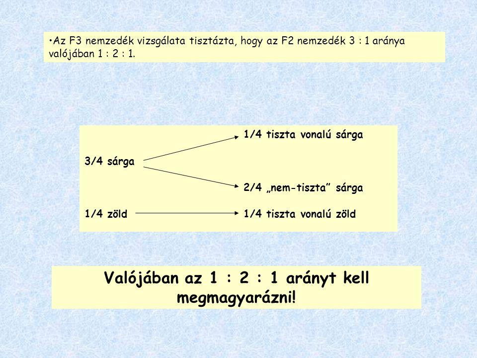"""Az F3 nemzedék vizsgálata tisztázta, hogy az F2 nemzedék 3 : 1 aránya valójában 1 : 2 : 1. 1/4 tiszta vonalú sárga 3/4 sárga 2/4 """"nem-tiszta"""" sárga 1/"""