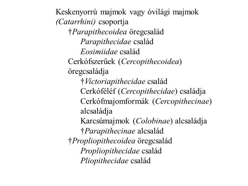 Keskenyorrú majmok vagy óvilági majmok (Catarrhini) csoportja †Parapithecoidea öregcsalád Parapithecidae család Eosimiidae család Cerkófszerűek (Cercopithecoidea) öregcsaládja †Victoriapithecidae család Cerkóféléf (Cercopithecidae) családja Cerkófmajomformák (Cercopithecinae) alcsaládja Karcsúmajmok (Colobinae) alcsaládja †Parapithecinae alcsalád †Propliopithecoidea öregcsalád Propliopithecidae család Pliopithecidae család