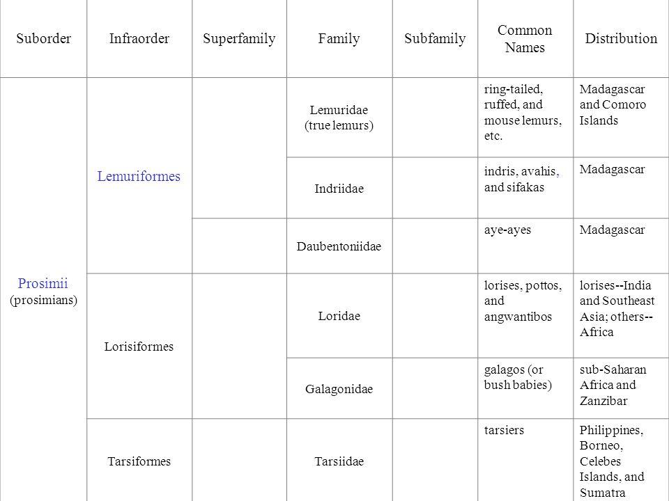 SuborderInfraorderSuperfamilyFamilySubfamily Common Names Distribution Prosimii (prosimians) Lemuriformes Lemuridae (true lemurs) ring-tailed, ruffed, and mouse lemurs, etc.
