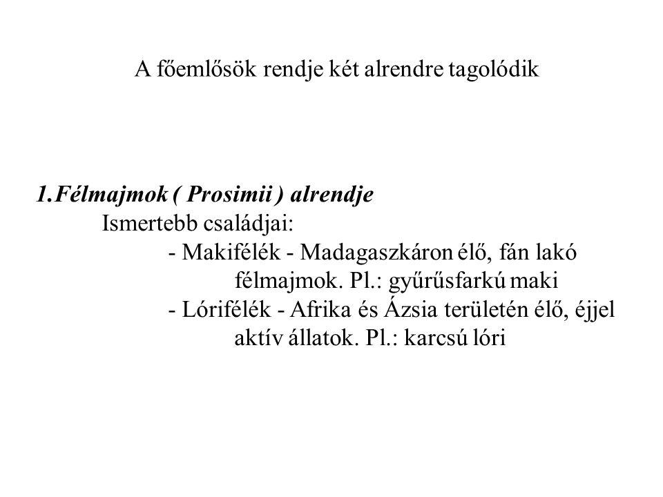 A főemlősök rendje két alrendre tagolódik 1.Félmajmok ( Prosimii ) alrendje Ismertebb családjai: - Makifélék - Madagaszkáron élő, fán lakó félmajmok.