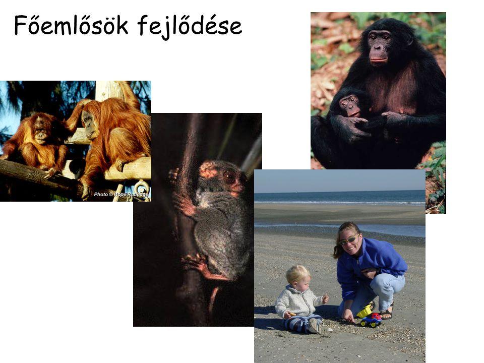 Lemur catta Life span: 16 to 19 years wild ( 33 years captive) Total population: Unknown (wild), 2000 (captivity), 20-25 egyedbõl álló csapatokban él Regions: Madagascar Gestation: 4.6 months (139 days) Height: 38,5 to 45,5 cm (M & F) tail 56 to 62 cm Weight: 2.30 to 3.50 kg (M & F) Diet: levelekből, fakéregből, fűfélékből, lágy szárú növényekből, édes gyümölcsöket Lemur catta range (in red)