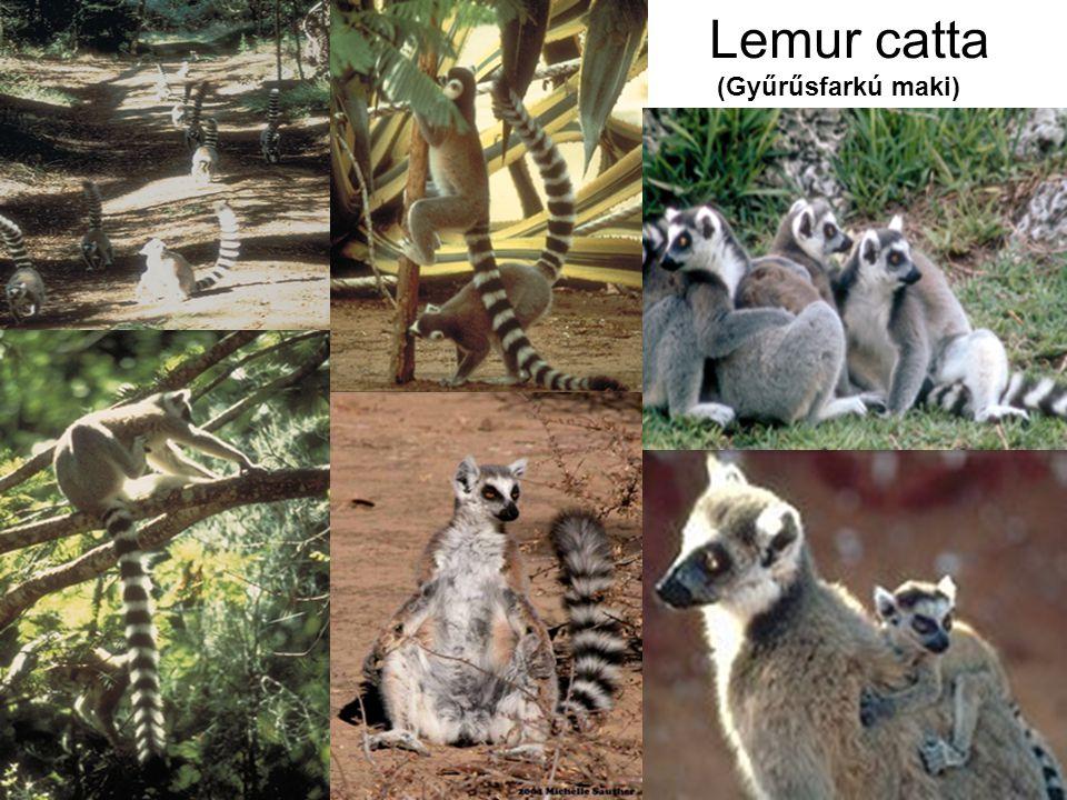 Lemur catta (Gyűrűsfarkú maki)
