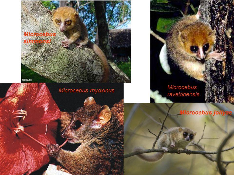 Microcebus jollyae Microcebus myoxinus Microcebus ravelobensis Microcebus simmonsi