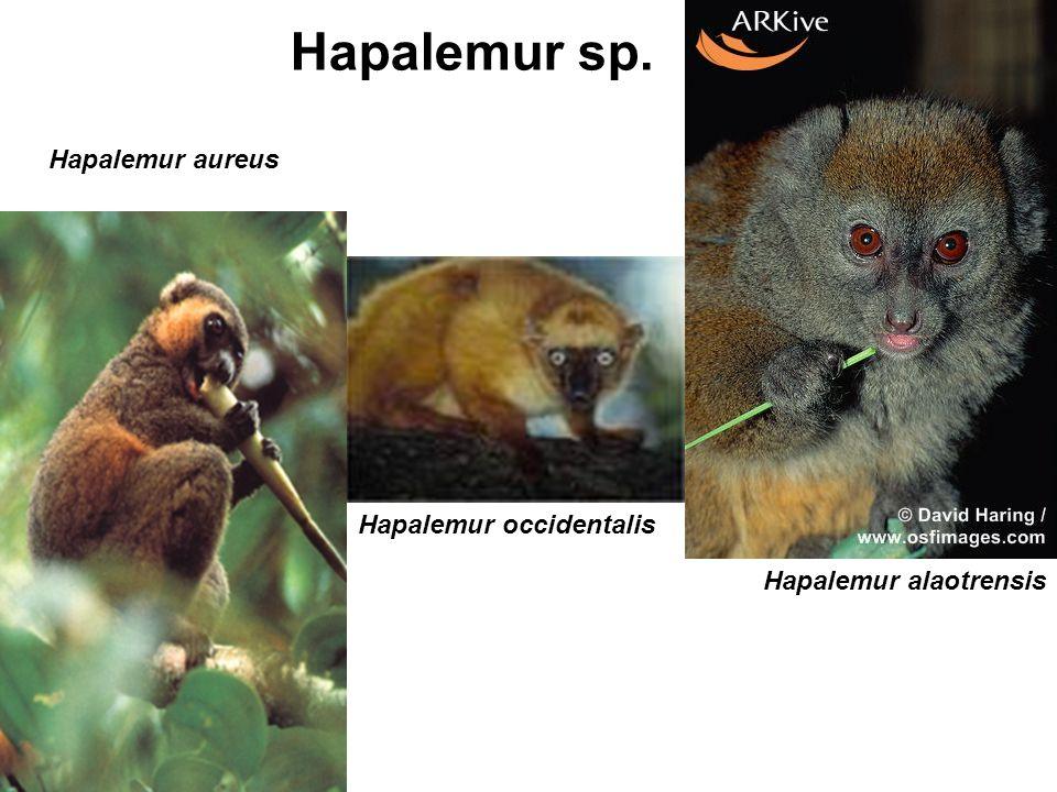 Hapalemur alaotrensis Hapalemur aureus Hapalemur occidentalis Hapalemur sp.