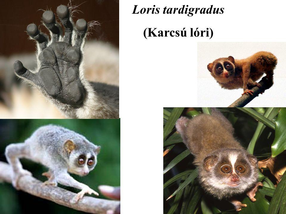 Loris tardigradus (Karcsú lóri)