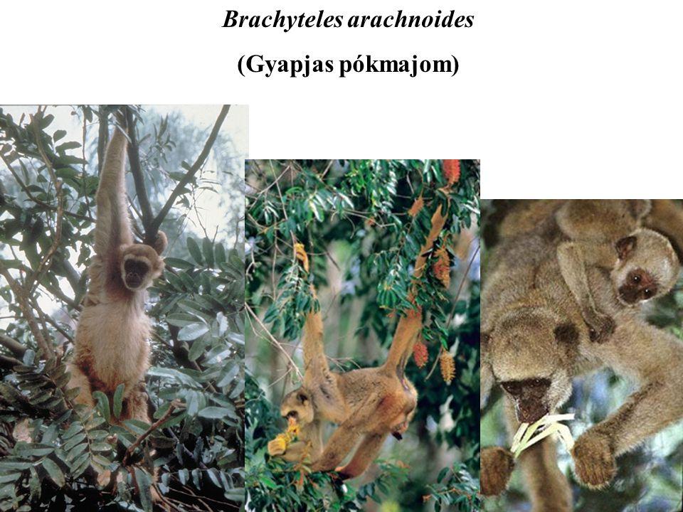Brachyteles arachnoides (Gyapjas pókmajom)
