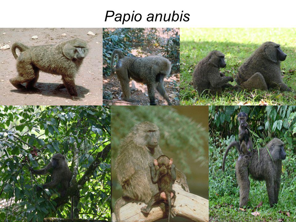 Papio anubis