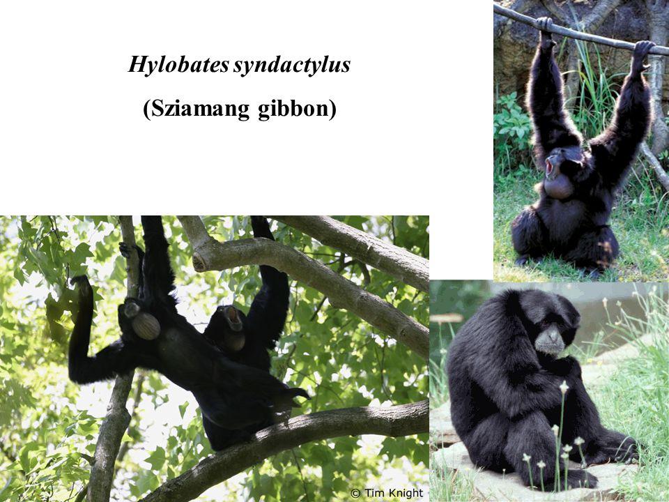 Hylobates syndactylus (Sziamang gibbon)