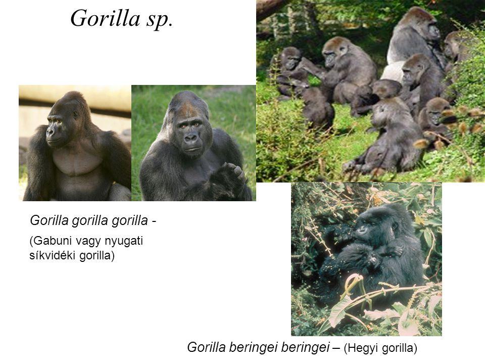 (Gabuni vagy nyugati síkvidéki gorilla) Gorilla gorilla gorilla - Gorilla beringei beringei – (Hegyi gorilla) Gorilla sp.