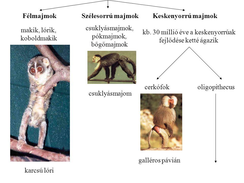 FélmajmokSzélesorrú majmokKeskenyorrú majmok makik, lórik, koboldmakik karcsú lóri csuklyásmajmok, pókmajmok, bőgőmajmok csuklyásmajom kb.