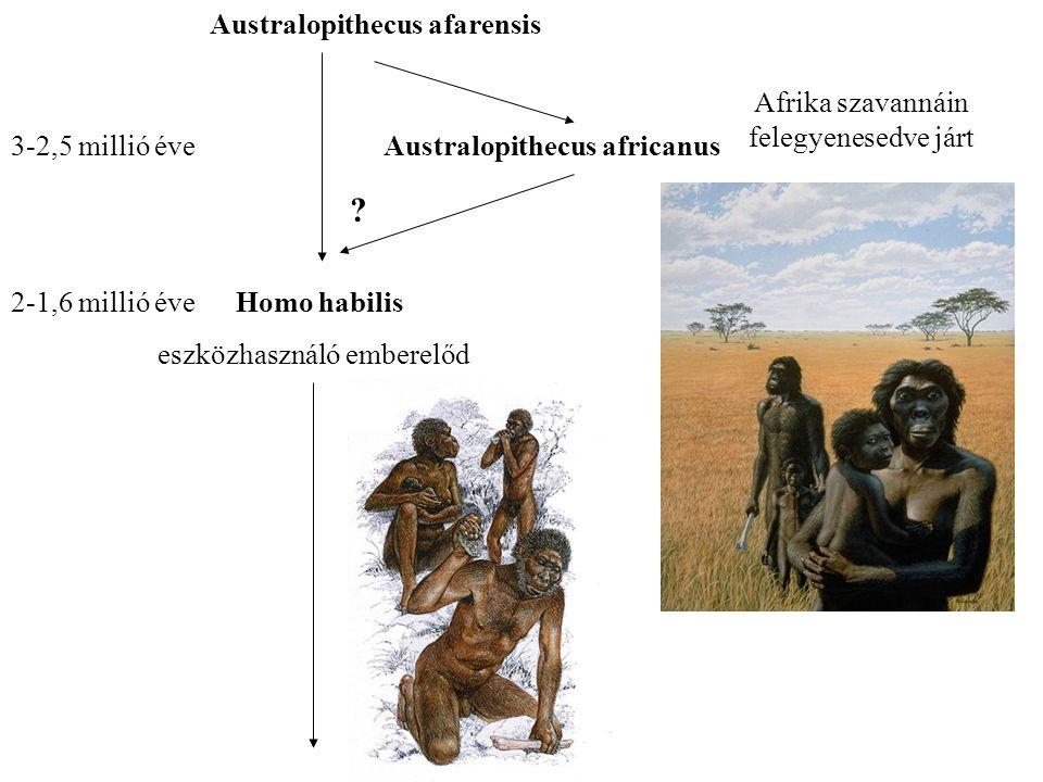Australopithecus afarensis 3-2,5 millió éveAustralopithecus africanus Afrika szavannáin felegyenesedve járt .