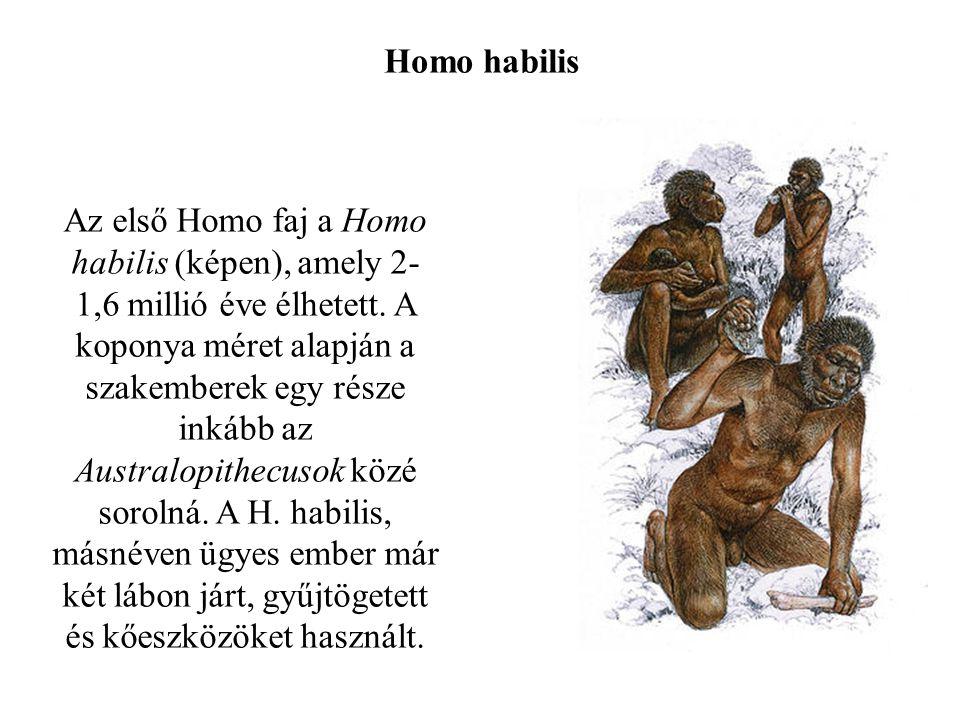 Homo habilis Az első Homo faj a Homo habilis (képen), amely 2- 1,6 millió éve élhetett.