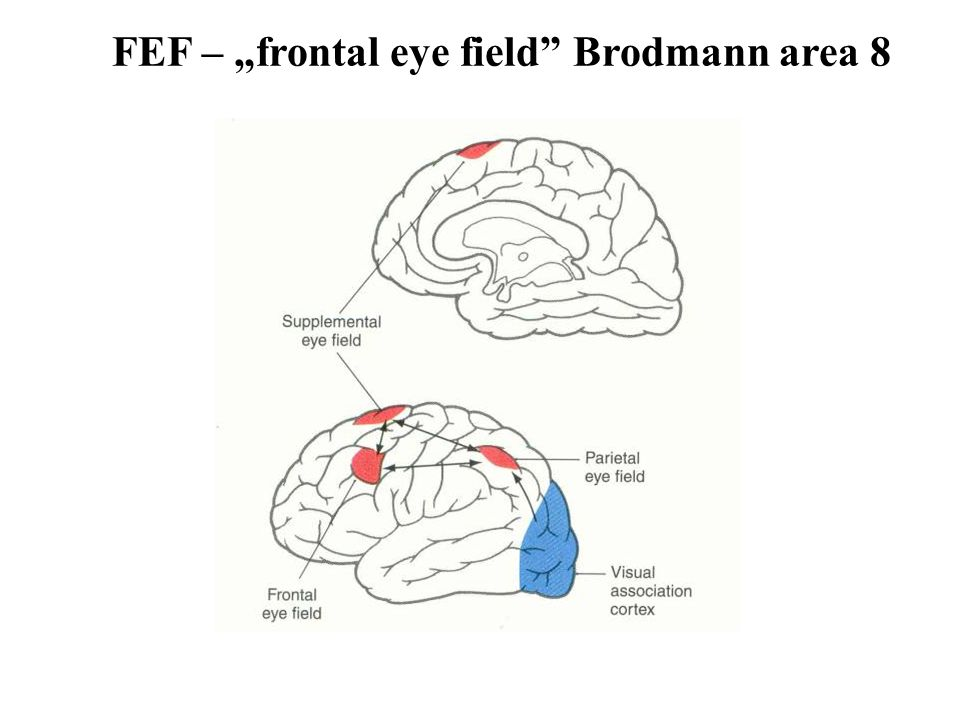 "FEF – ""frontal eye field"" Brodmann area 8"