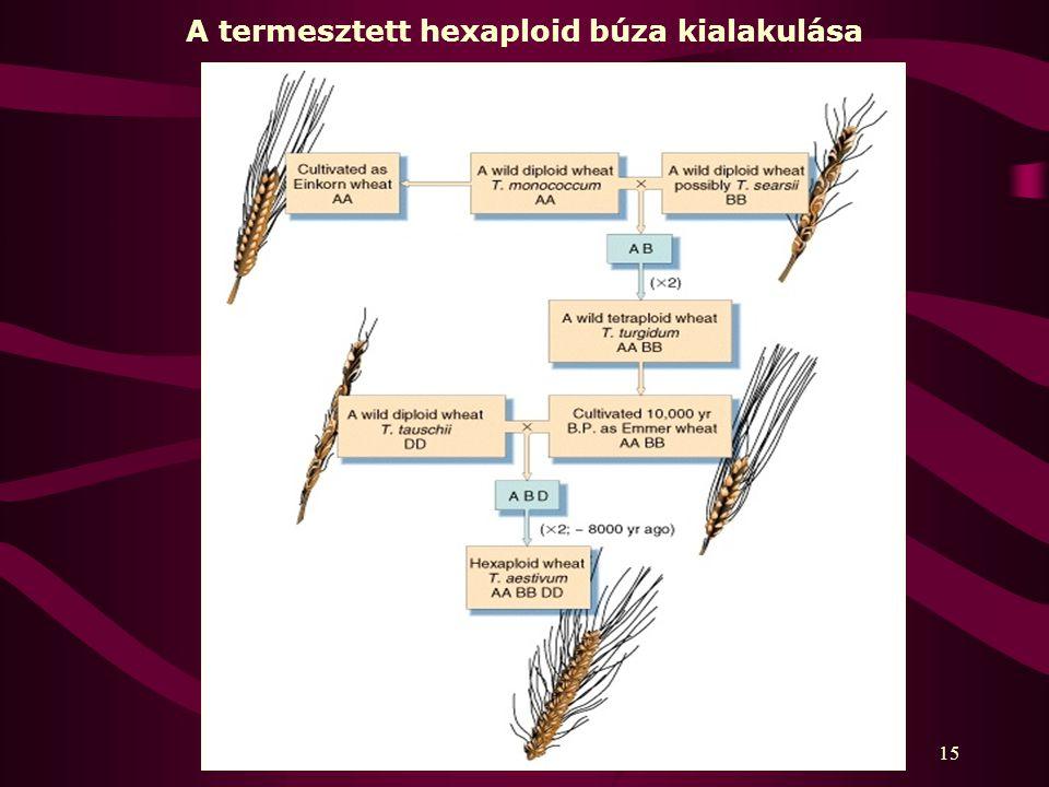 15 A termesztett hexaploid búza kialakulása