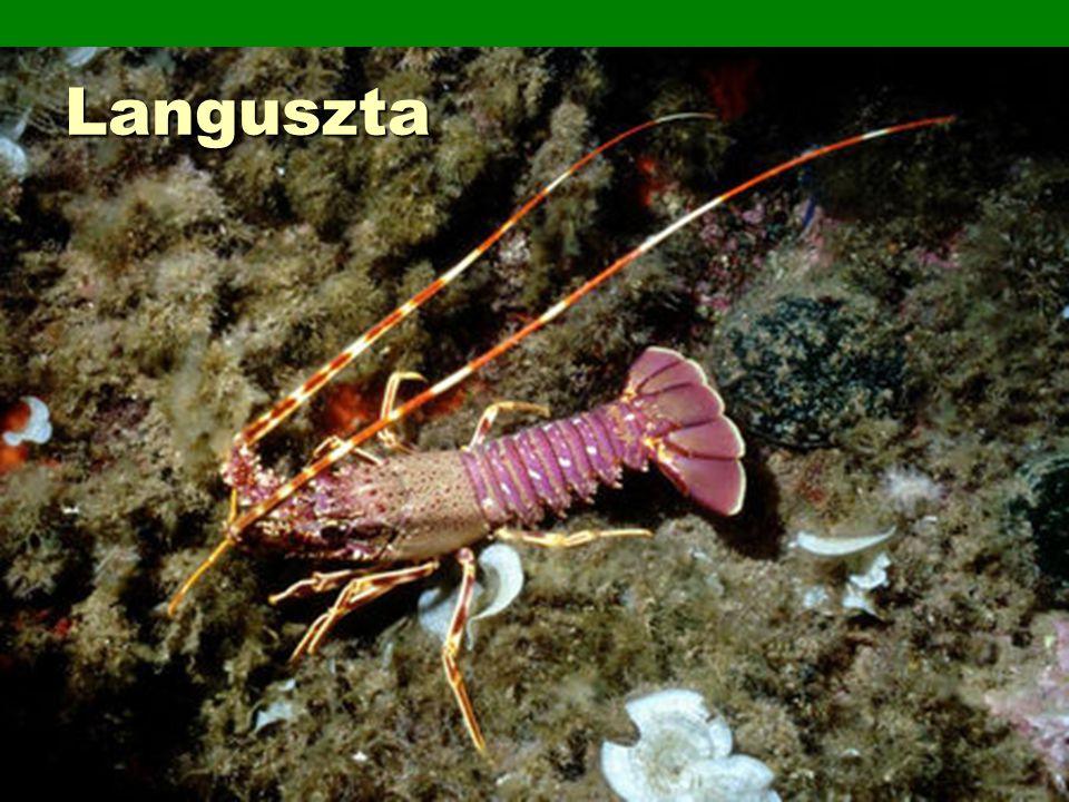 Pókszabásúak osztálya  Főként szárazföldiek, ragadozók  4 pár járóláb  Fejtor + potroh  Fej:  Csáprágó + méregmirigyek, emésztő enzimek – előemésztés testükön kívül  pontszemek  Sok fajnál potroh végén szövőmirigyek, lábak végén szövő karmok – hálószövés  Pókok, kullancsok, skorpiók