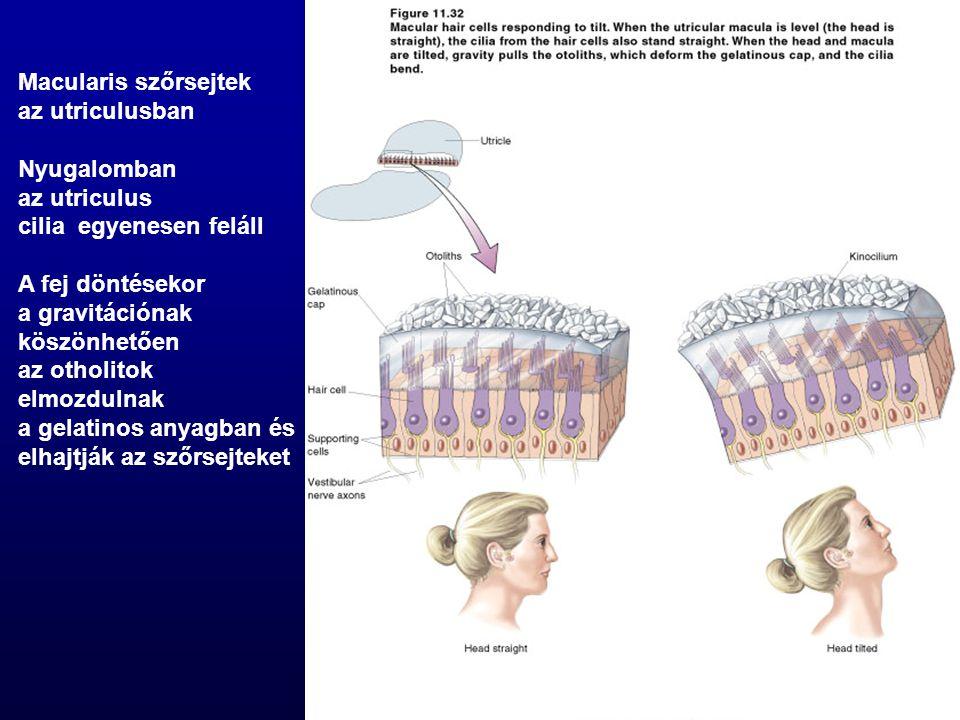 Macularis szőrsejtek az utriculusban Nyugalomban az utriculus cilia egyenesen feláll A fej döntésekor a gravitációnak köszönhetően az otholitok elmozd