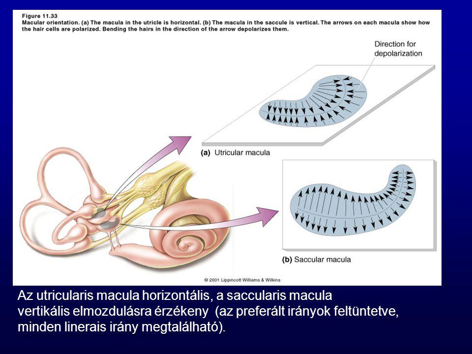 Az utricularis macula horizontális, a saccularis macula vertikális elmozdulásra érzékeny (az preferált irányok feltüntetve, minden linerais irány megt