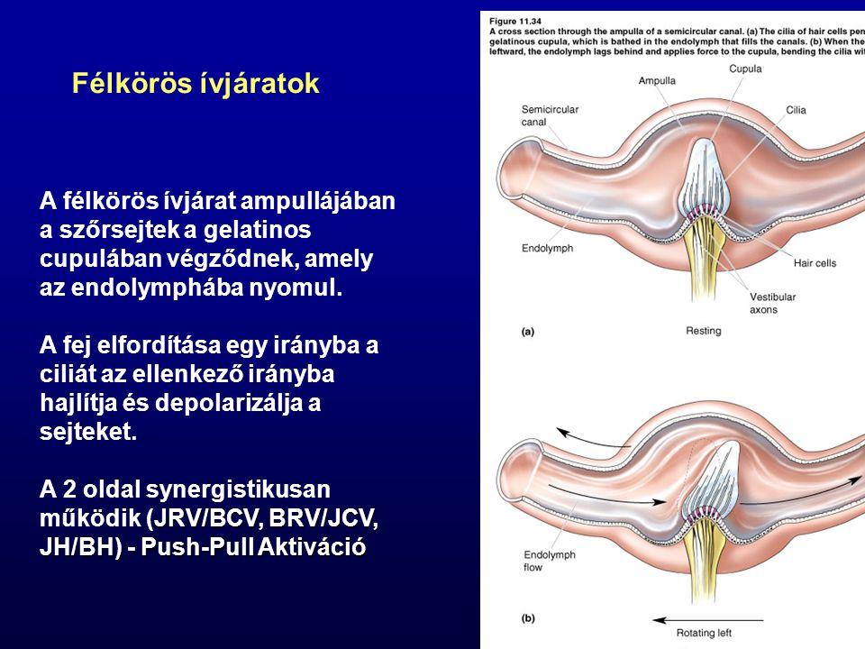 A félkörös ívjárat ampullájában a szőrsejtek a gelatinos cupulában végződnek, amely az endolymphába nyomul. A fej elfordítása egy irányba a ciliát az