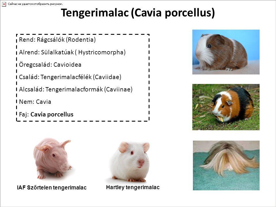 Tengerimalac (Cavia porcellus) Rend: Rágcsálók (Rodentia) Alrend: Sülalkatúak ( Hystricomorpha) Öregcsalád: Cavioidea Család: Tengerimalacfélék (Cavii
