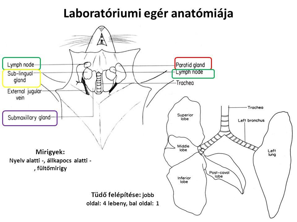 Laboratóriumi egér anatómiája Mirigyek: Nyelv alatti -, állkapocs alatti -, fültőmirigy Tüdő felépítése: jobb oldal: 4 lebeny, bal oldal: 1