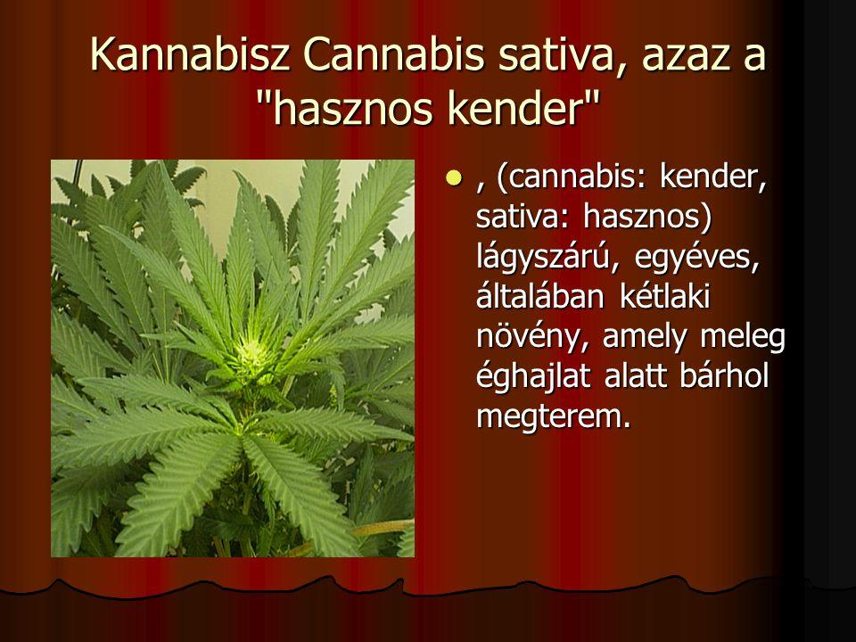 Kannabisz Cannabis sativa, azaz a