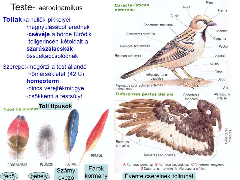 Teste Szemek oldalt 3 héj Fej –fülkagylója nincs -szaglása, tapintása gyenge -éles a látása Törzs- tojásdad Végtagok – mellsők: szárnyak -hátsók: pikkelyes lábak(mint a hüllőknek) karmos ujjakkal Láb tipusok: -fogóláb(sas) -kúszó(papagály) -futó -gázló(gólya) -úszó -búvár orrnyillás Csőre-megnyúlt, szarús, fog nélküli állkapocs