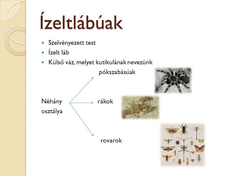 Ízeltlábúak Szelvényezett test Ízelt láb Külső váz, melyet kutikulának nevezünk pókszabásúak Néhány rákok osztálya rovarok