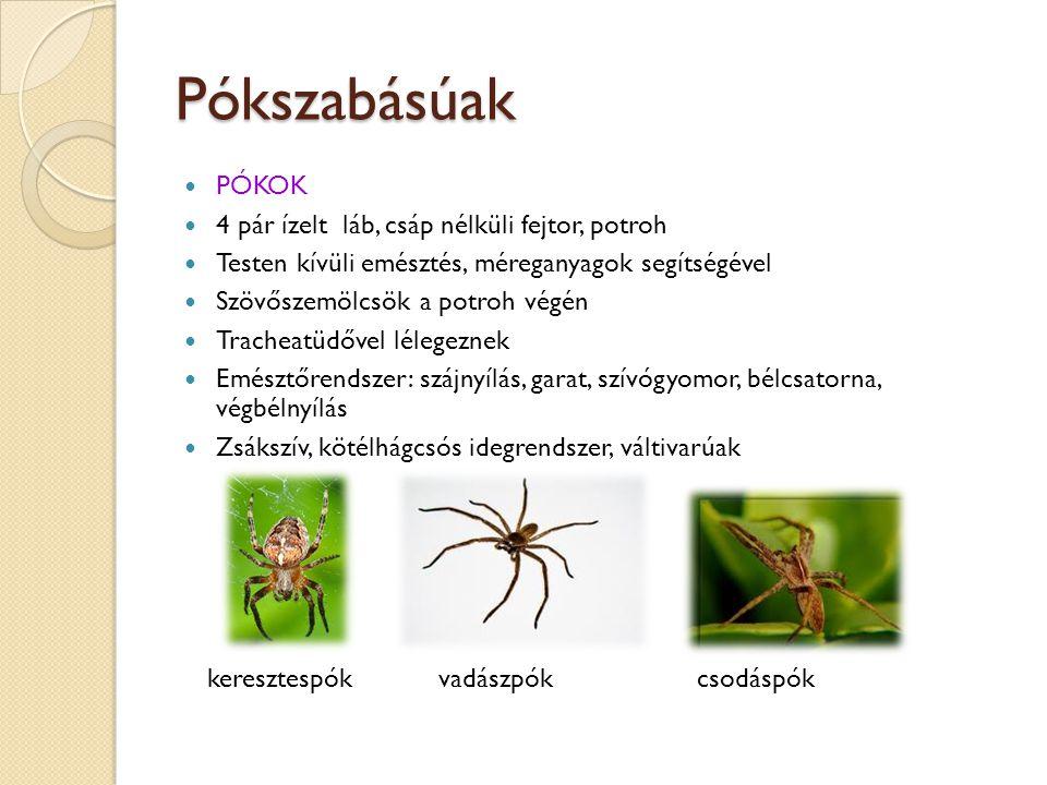 Pókszabásúak PÓKOK 4 pár ízelt láb, csáp nélküli fejtor, potroh Testen kívüli emésztés, méreganyagok segítségével Szövőszemölcsök a potroh végén Trach