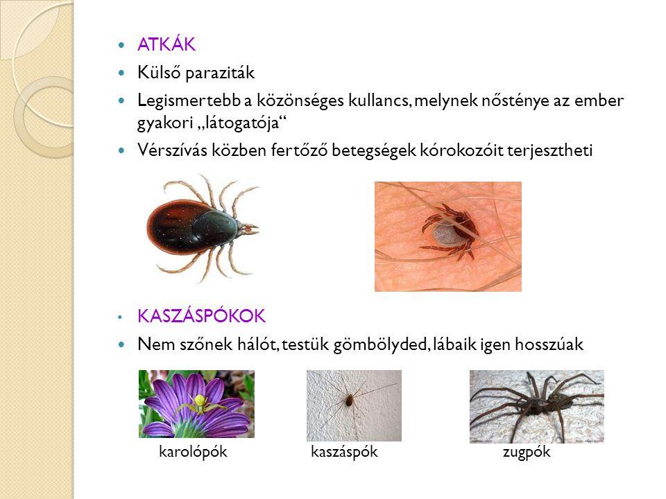 """ATKÁK Külső paraziták Legismertebb a közönséges kullancs, melynek nősténye az ember gyakori """"látogatója Vérszívás közben fertőző betegségek kórokozóit terjesztheti KASZÁSPÓKOK Nem szőnek hálót, testük gömbölyded, lábaik igen hosszúak karolópók kaszáspók zugpók"""