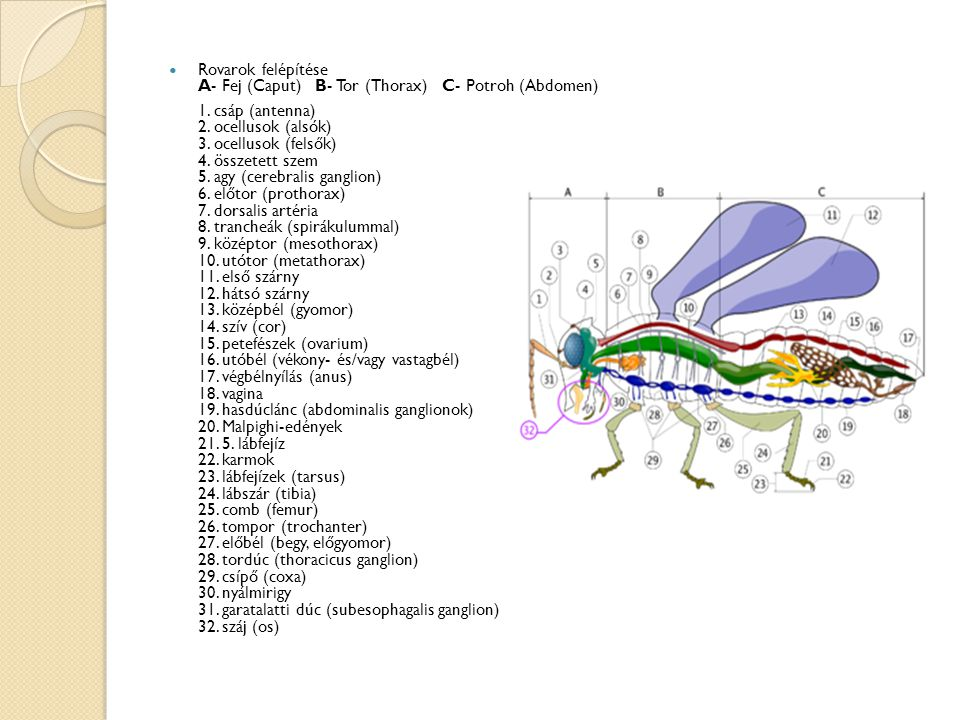 Rovarok felépítése A- Fej (Caput) B- Tor (Thorax) C- Potroh (Abdomen) 1.