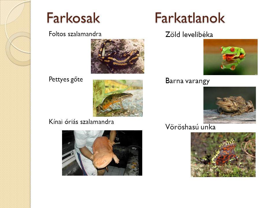 Farkosak Farkatlanok Foltos szalamandra Pettyes gőte Kínai óriás szalamandra Zöld levelibéka Barna varangy Vöröshasú unka
