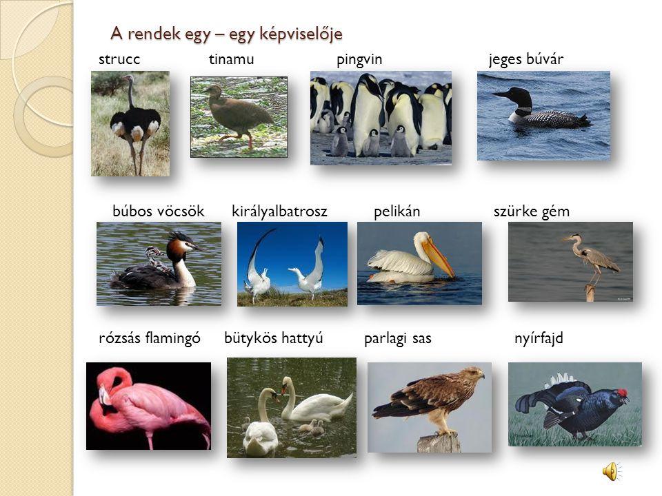 A rendek egy – egy képviselője strucc tinamu pingvin jeges búvár búbos vöcsök királyalbatrosz pelikán szürke gém rózsás flamingó bütykös hattyú parlagi sas nyírfajd