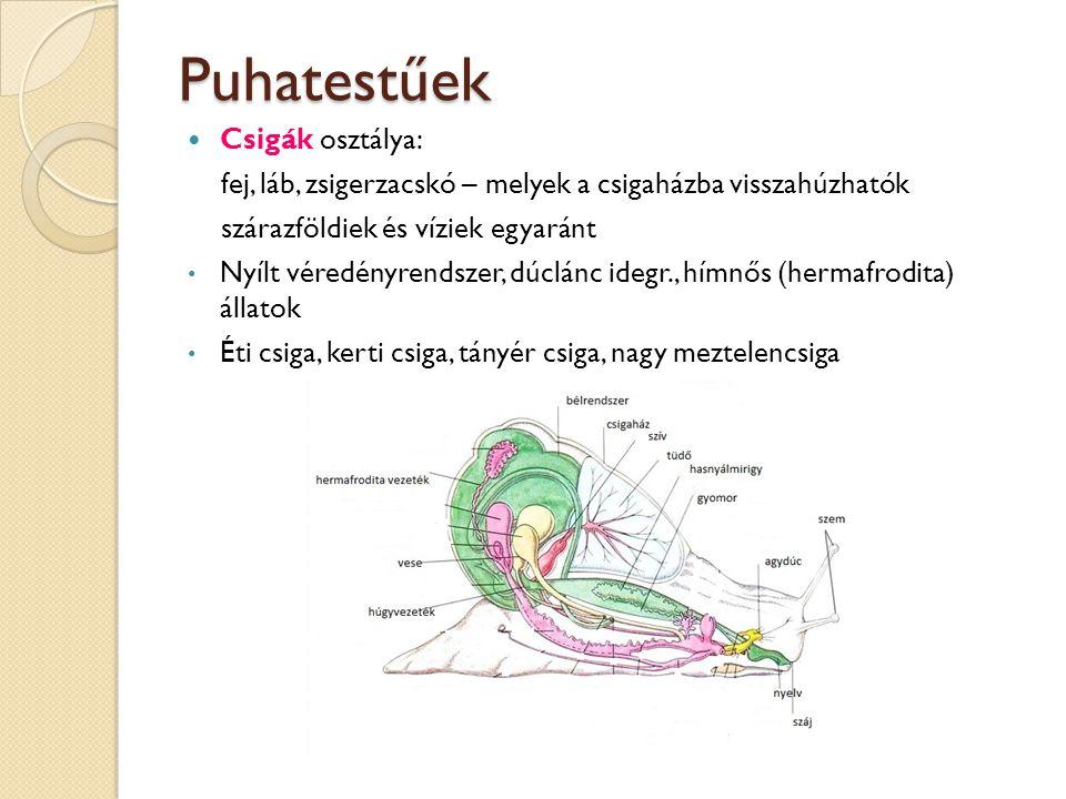 Puhatestűek Csigák osztálya: fej, láb, zsigerzacskó – melyek a csigaházba visszahúzhatók szárazföldiek és víziek egyaránt Nyílt véredényrendszer, dúcl