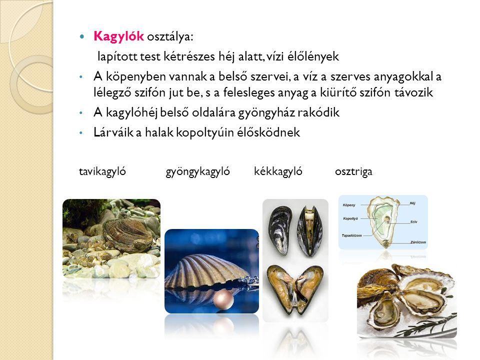 Kagylók osztálya: lapított test kétrészes héj alatt, vízi élőlények A köpenyben vannak a belső szervei, a víz a szerves anyagokkal a lélegző szifón jut be, s a felesleges anyag a kiürítő szifón távozik A kagylóhéj belső oldalára gyöngyház rakódik Lárváik a halak kopoltyúin élősködnek tavikagyló gyöngykagyló kékkagyló osztriga