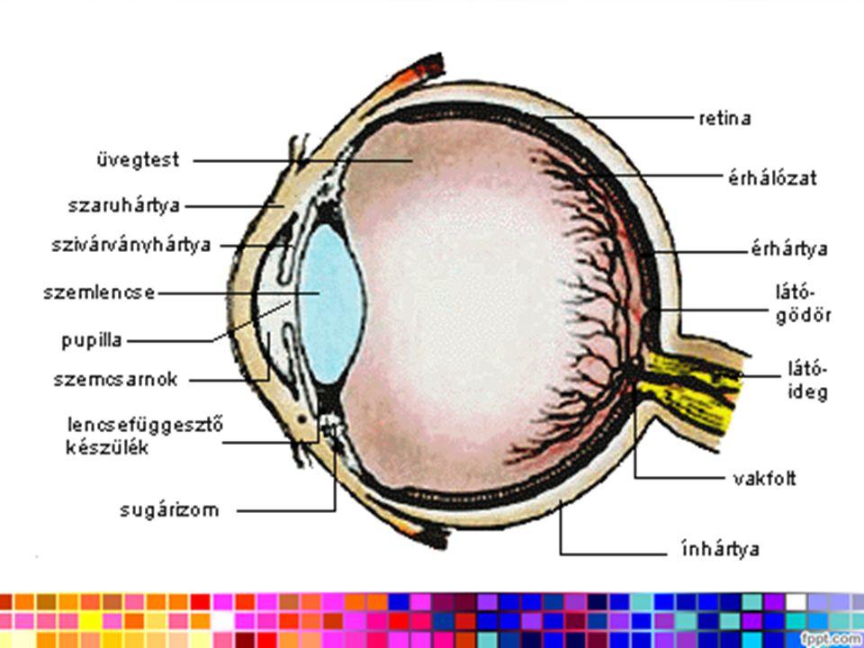 A szivárványhártya fogja közre a fényreteszként működő pupillát.