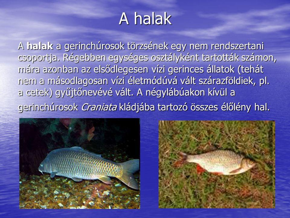 A halak A halak a gerinchúrosok törzsének egy nem rendszertani csoportja. Régebben egységes osztályként tartották számon, mára azonban az elsődlegesen