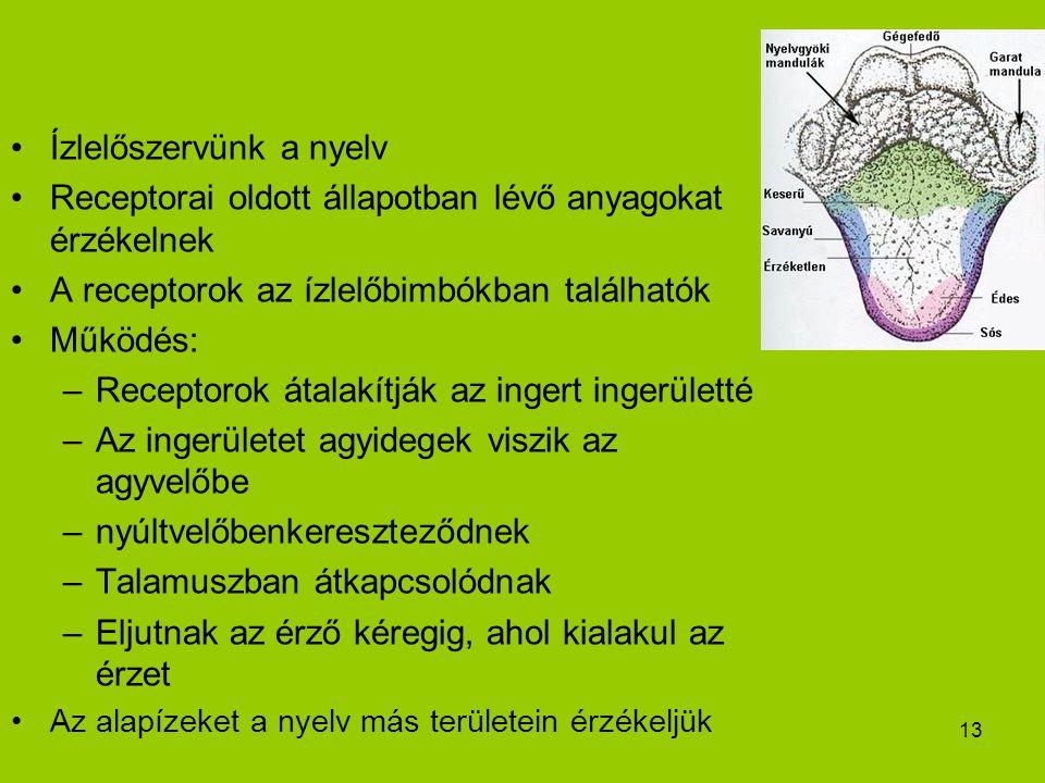 13 Ízlelőszervünk a nyelv Receptorai oldott állapotban lévő anyagokat érzékelnek A receptorok az ízlelőbimbókban találhatók Működés: –Receptorok átalakítják az ingert ingerületté –Az ingerületet agyidegek viszik az agyvelőbe –nyúltvelőbenkereszteződnek –Talamuszban átkapcsolódnak –Eljutnak az érző kéregig, ahol kialakul az érzet Az alapízeket a nyelv más területein érzékeljük