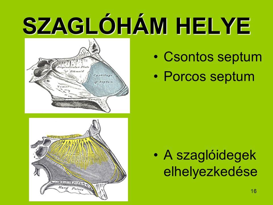 16 SZAGLÓHÁM HELYE Csontos septum Porcos septum A szaglóidegek elhelyezkedése