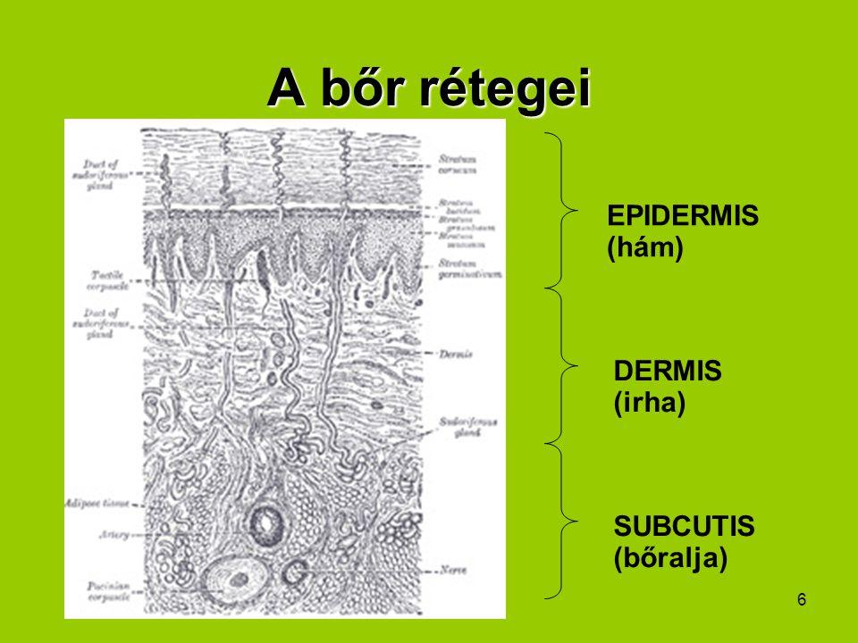 7 Hámréteg: ez érintkezik a külvilággal, állandóan kopik (pl.: korpás fejbőr); alap sejtrétegében>> festéktermelő/pigment sejtek; erek, idegek nincsenek Irha: bőr legfontosabb része; járulékos elemei: szőrtüszők, faggyúmirigyek, verejtékmirigyek, szőr (kezedeti részén izomnyaláb> libabőr -nél ez húzódik össze) és köröm; erek, idegek vannak Bőralja: ezzel csatlakozik a bőr az alatta lévő izmokhoz, csontokhoz; erek, idegek vannak