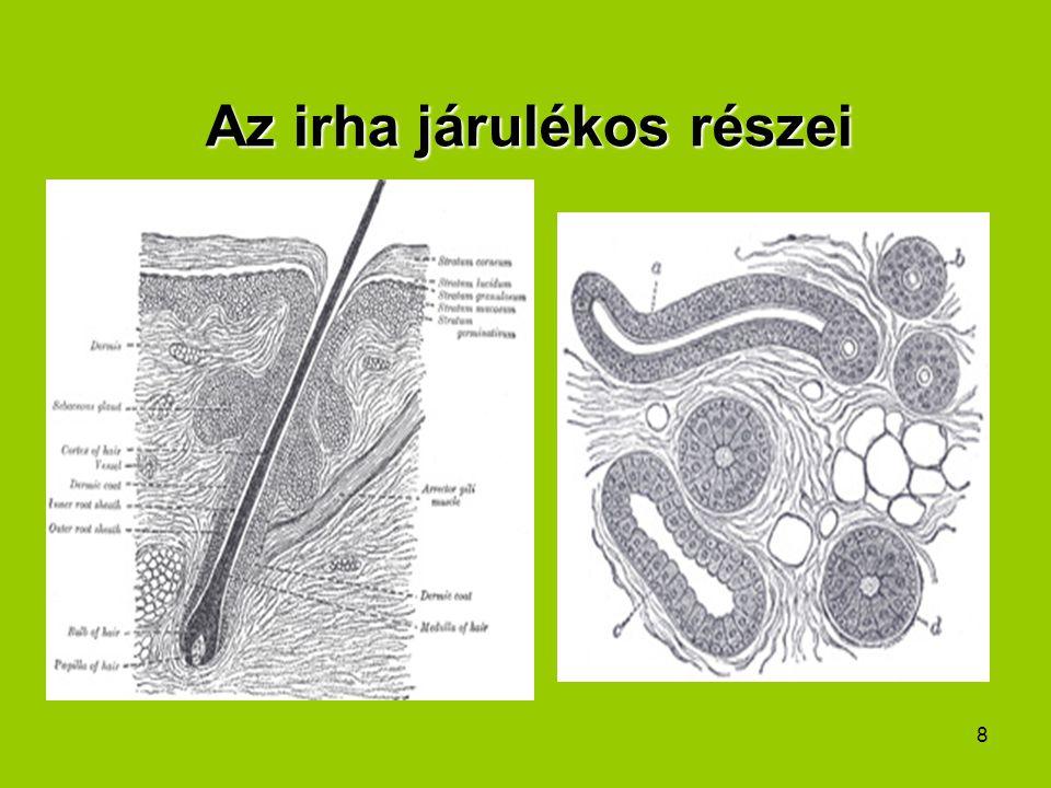 9 A bőr jellemzői Receptorai: –Mechanikai: nyomást, tapintást érzékelnek –Hőreceptorok –Fájdalomérzékelő receptorok –A hő és a mechanikai receptorok az irharétegben vannak, a fájdalomérzékelésért szabad idegvégződések felelősek, ezek a hám élő rétegébe is benyúlnak