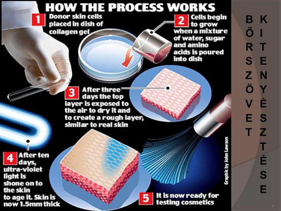 A modell általános jellemzői  Emberi keratin sejteket használnak a bőrszövet mesterséges (laboratóriumi körülmények között történő) felépítéséhez.