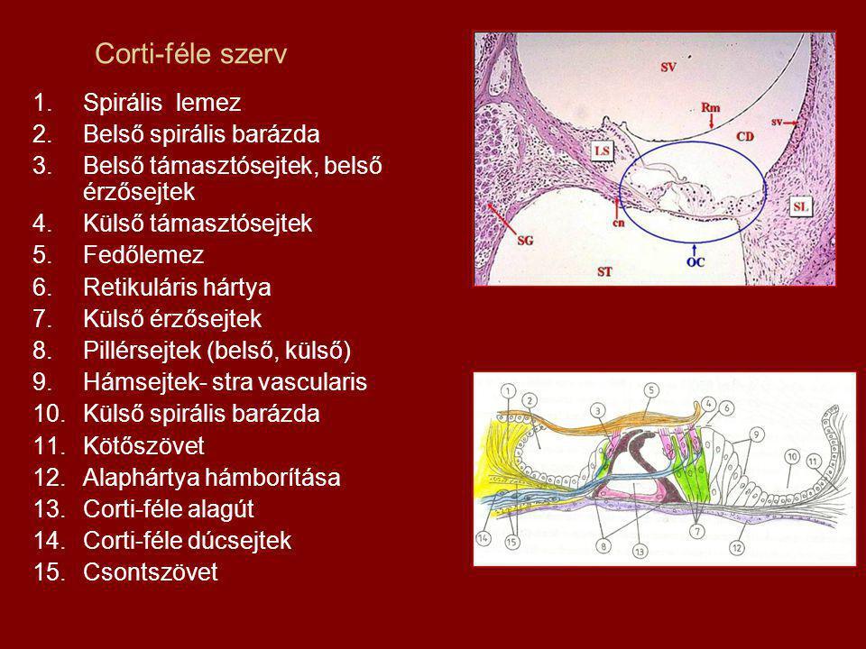 Corti-féle szerv 1.Spirális lemez 2.Belső spirális barázda 3.Belső támasztósejtek, belső érzősejtek 4.Külső támasztósejtek 5.Fedőlemez 6.Retikuláris hártya 7.Külső érzősejtek 8.Pillérsejtek (belső, külső) 9.Hámsejtek- stra vascularis 10.Külső spirális barázda 11.Kötőszövet 12.Alaphártya hámborítása 13.Corti-féle alagút 14.Corti-féle dúcsejtek 15.Csontszövet